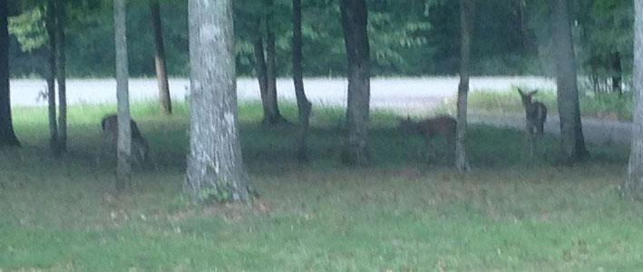 deer-front-yard