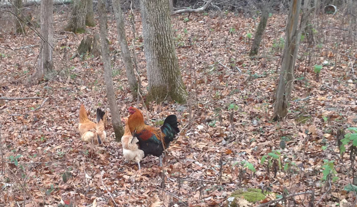 chickens-in-the-woods