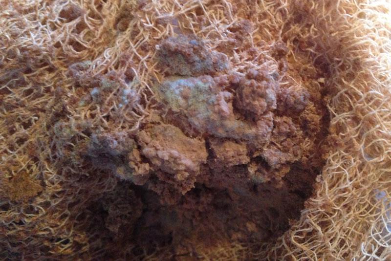 acorns-mold